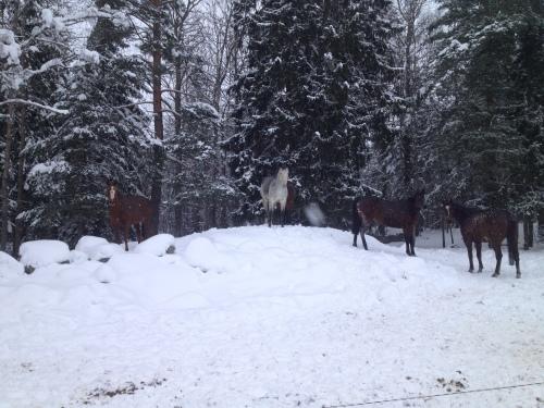 Kickis hästar
